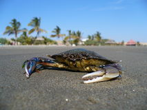 Crab on exclusive beach Royalty Free Stock Images