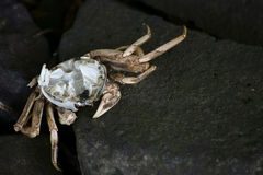 Crab exoskeleton. The photograph of a dead crab exoskeleton on which a fly sitting Royalty Free Stock Image