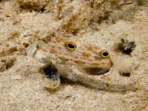 Crab-eyed Goby 01 Stock Photos