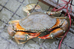 Crab farm for seafood resturant Stock Photography