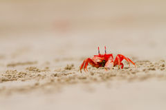 Crab feeding on the beach close up. Crab feeding on the beach a close up Royalty Free Stock Image