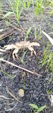 Crab in the field macro image looking very angry stock images