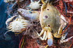 Crab and fish in a fishing nets Royalty Free Stock Images