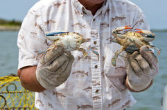 Crab fisherman holding his catch. Fisherman on Tangier Island showing a male and female blue crab (Callinectes sapidus) to tourists Royalty Free Stock Photography