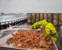 Crab fishermen in Bering Sea, Alaska, sorting opilio crab Stock Photo