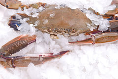Crab freeze in ice Royalty Free Stock Photography