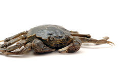 Crab. Freshwater crab  on white background Stock Images