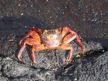 Crab on the Galapagos Islands Royalty Free Stock Photos