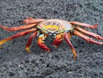 Crab on the Galapagos Islands. A red crab on a vulcanic rock formation on the Galapagos Islands stock photo