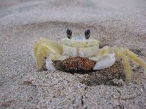 Crab. A ghost crab in the sand Stock Image