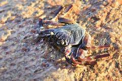 Crab on granite boulders of Indian Ocean Stock Photography