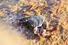 Crab on the granite boulders of Indian Ocean Stock Photo
