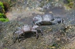 Crab. Crab Grapsus adscensionis. Playa de Arinaga. Agüimes. Gran Canaria. Canary Islands. Spain Royalty Free Stock Photos