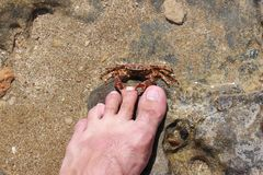 Attack of a crab on the person. The crab grasps the man by the finger on the leg. The crab bites the person Royalty Free Stock Images