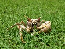 Crab. On the grass Royalty Free Stock Photos