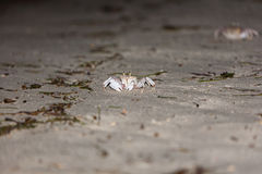 Crab on gray sand Royalty Free Stock Photo
