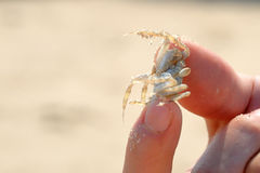 Crab in hand Stock Photo
