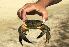 Crab in hand men Stock Photography