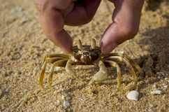 Crab in hand. On sand on the beach Royalty Free Stock Photos