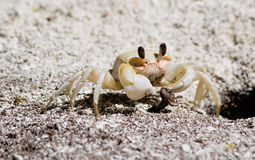 Crab having his breakfast Stock Photography
