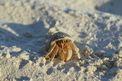 Crab. Hermit crab on the beach Royalty Free Stock Image