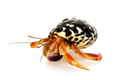 Crab hermit in a seashell. Hermit crab in the shell on a white background Stock Image