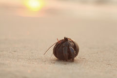 crab hermit shell on sandy beach Royalty Free Stock Images