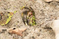 Crab hidden inside a hole .Seychelles Islands. Royalty Free Stock Photography
