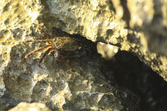 Crab hidden among the rocks. Crab hides in the cracks of a cliff Stock Photography