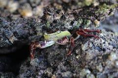 crab hiding Royalty Free Stock Photo