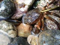 Crab hiding Royalty Free Stock Image
