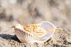 Crab hiding in a empty white clam in sand Royalty Free Stock Images