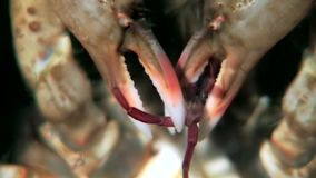 Crab hios grabbed booty with claws underwater on seabed of White Sea Russia. Unique video close up. Predators of marine life on background of pure and stock video footage