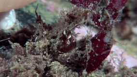 Crab hios masks camouflage underwater in search of food on seabed of White Sea. stock footage