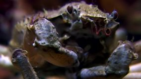 Crab hios near camera close up underwater on seabed of White Sea Russia. Unique video close up. Predators of marine life on background of pure and transparent stock footage