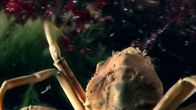 Crab hios underwater in search of food on seabed of White Sea Russia. stock footage
