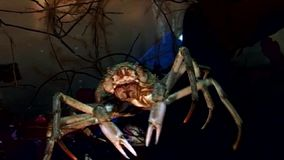 Crab hios underwater in search of food on seabed of White Sea Russia. stock video