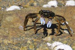 Crab and his shadow Stock Image