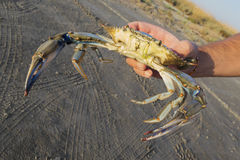 Crab holded by hand Royalty Free Stock Images