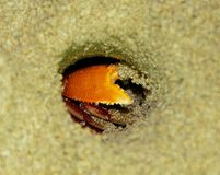 Crab in hole Royalty Free Stock Image