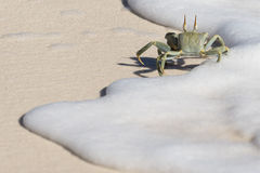 Crab. Horned Ghost Crab running along water edge in the snow white sea foam Royalty Free Stock Photo