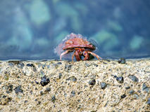 Crab housekeeper Stock Photography