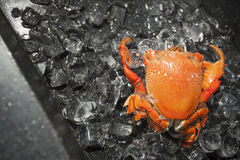 Crab on ice. Close up shot, Delicious and fresh seafood Royalty Free Stock Photos