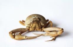 Crab Ilia nucleus. Close photo of crab Ilia nucleus on white background stock photos