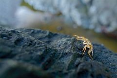 Crab In The Nature Habitat, Black Rock In The Sea Coast, Manuel Antonio National Park, Costa Rica. Wildlife Scene From Nature. Oce Royalty Free Stock Photo