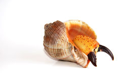 Crab Inside Shell Stock Photography