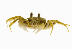 Crab isolated. On white background Royalty Free Stock Images