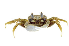 Crab isolated Stock Image