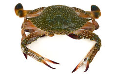 Crab isolated Stock Photography
