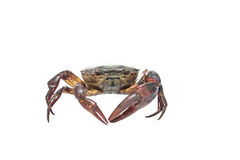 Crab isolated Royalty Free Stock Photos